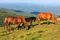 Wild horses on the hill Royalty Free Stock Photography