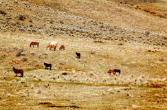 Wild Horses on Hillside. A distant view of a herd of wild horses roaming and grazing on a hillside on Indian land. Copy space or Background Royalty Free Stock Photo