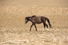 Wild horses at Himalaya mountains . India, Ladakh Stock Photos