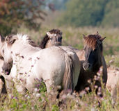 Wild horses, Holland stock photography