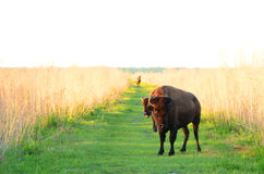Wild Horses and bison. A wild Horse in the Background. Two Bison close by Royalty Free Stock Photo