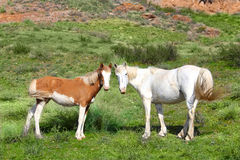 Wild horses horse  steppe species Adayev, Jabe Stock Image