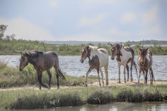Wild horses. Wild horse after swimming the channel, Assateague Island Royalty Free Stock Photos