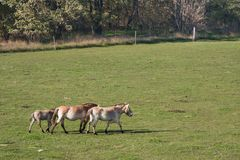 Wild horses in the Hungarian moorland. Hungary royalty free stock photos