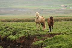Wild horses in Iceland. Front view with green grass background Royalty Free Stock Photography