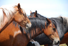Wild Horses In Nature Stock Images