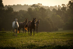Free Wild Horses In The Mountains At Sunrise 2 Royalty Free Stock Images - 75925119