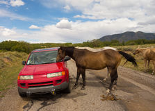 Wild horses inspecting a car in the desert Stock Image