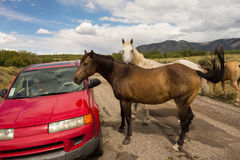 Wild horses inspecting a car in the desert Royalty Free Stock Photo