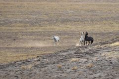 Wild Horses Interacting Royalty Free Stock Images