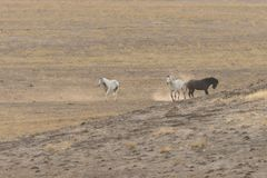 Wild Horses Interacting in the Desert. Wild horses interacting in the Utah desert Stock Photos