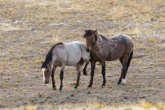 Pair of Wild Horses Interacting. Wild horses interacting in the Utah desert Stock Images