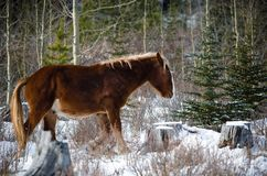 Wild horses of kananaskis Stock Photos