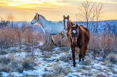 Wild horses, Kentucky, Harlan County. Winter sunset with wild horses in Southeastern Kentucky Royalty Free Stock Photos