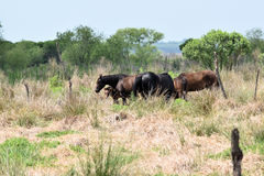 Wild Horses on the La Chula Trail in Paynes Prairie Florida stock photo