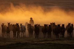 Wild horses leads by a cowboy at sunset with dust in background royalty free stock image