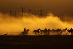 Wild horses leads by a cowboy at sunset with dust in background.  royalty free stock image