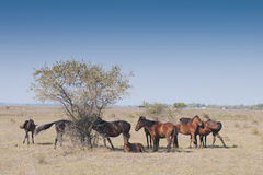 Wild Horses at Letea Royalty Free Stock Photography