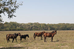 Wild Horses at Letea Stock Images