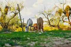 Wild Horses Located on the Pima-Maricopa Indian Reservation Land by the Lower Salt River in Arizona stock photo