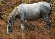 Wild horses of the long mynd. Wild horses in the Carding Mill Valley part of the Long Mynd Hills of Shropshire Stock Images
