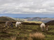 Wild horses on the Long Mynd, Shropshire. View across the Shropshire hills from the Long Mynd on a spring day, with wild horses in the foreground, Church Stock Photos