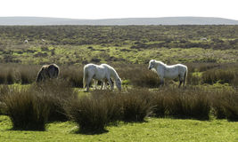 Wild horses at The Longmynd Burway hill Church Stretton Shropshire Royalty Free Stock Photo