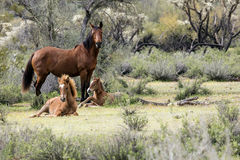 Wild Horses Lower Salt River stock photo
