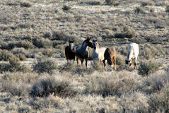 Wild horses on Malheur National Wildlife Refuge stock photos