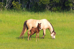 Wild horses. A mare and a foal grazing in the wild on Assateague Island Royalty Free Stock Photos