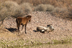 Wild Horses Mare and Foal Royalty Free Stock Photos