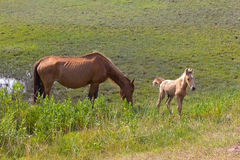 Wild horses. A mare and a newborn foal in the wild on Assateague Island Stock Photography