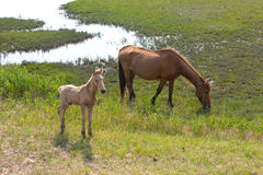 Wild horses. A mare and a newborn foal in the swamp area on Assateague Island Stock Photography