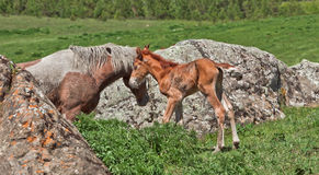 Wild horses: a mare and newborn foal walk in mountain Stock Image