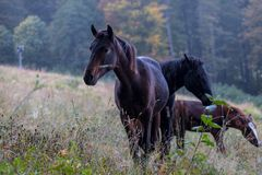 Wild horses on a meadow Royalty Free Stock Photography