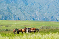 Wild horses in the meadow in the mountains Stock Photography