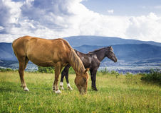 Wild horses. On meadow in mountains Royalty Free Stock Photography