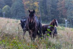 Wild horses on a meadow Royalty Free Stock Photo