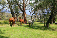 Wild horses in meadow. Wild horses in a meadow in the snowy mountains Australia Stock Photos
