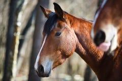 Wild horses Royalty Free Stock Photography