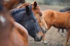 Wild horses Royalty Free Stock Photo