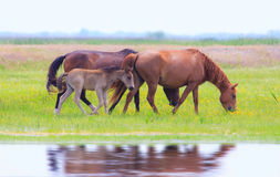 Wild horses on a meadow in summer Stock Photos