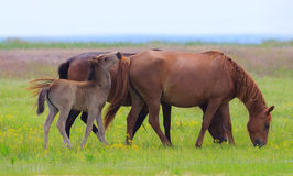 Wild horses on a meadow in summer Royalty Free Stock Images