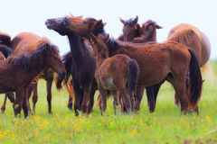 Wild horses on a meadow in summer Stock Image