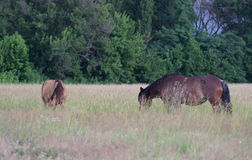 Wild horses on the meadow at the summer time Stock Photos