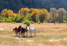 Wild Horses in Medicine Bow Wyoming Stock Photography