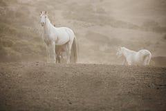 Wild horses. On a misty hillside Royalty Free Stock Image