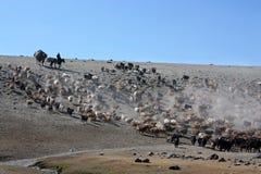 Wild horses in mongolia Stock Image