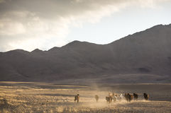 Wild horses in a mongolian landscape Royalty Free Stock Photos