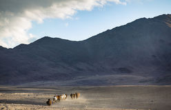 Wild horses in a mongolian landscape Royalty Free Stock Images